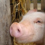 grippe-porcine